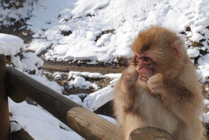 snowmonkeys Japan