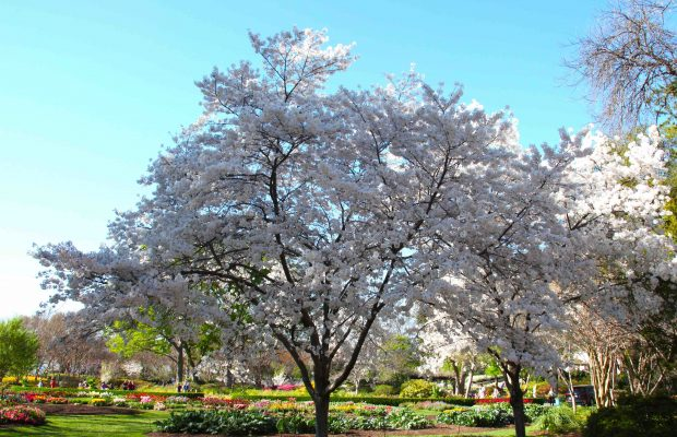 cherry blossoms at Arboretum