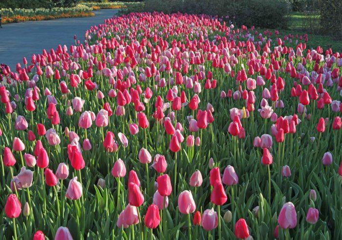 tulips at arboretum